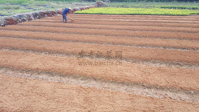 安吉白茶苗的种植栽培技术