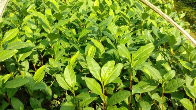 安吉白茶短穗扦插育苗种植技术