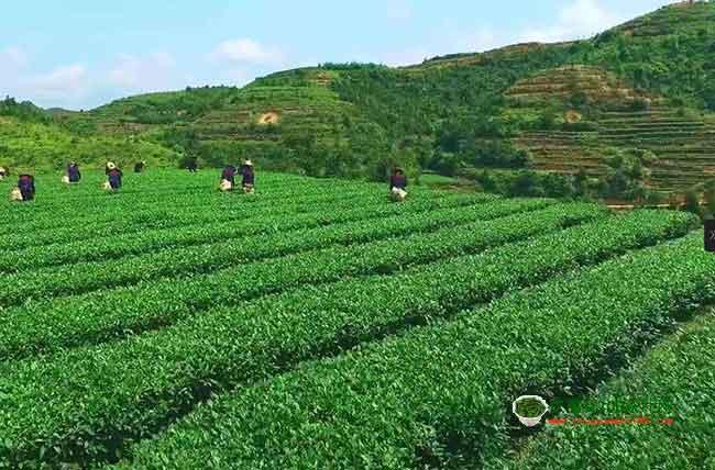 福建有什么茶叶?四大类三十多种名茶介绍
