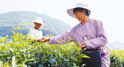 铅山红茶走出国门闯世界