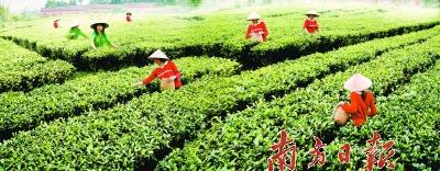 """英德红茶:享誉半个世纪的""""东方金美人"""""""