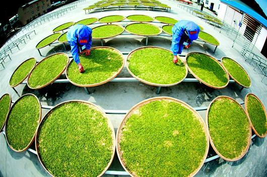 竹山得胜镇发展红茶生产夏秋茶叶成了宝