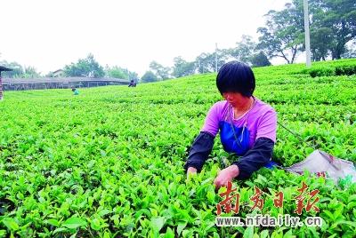 英红:红茶之乡稻耕之源