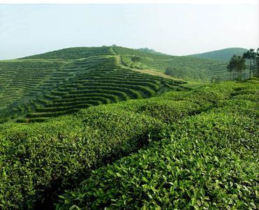 游西乡茶园喝鹏翔有机绿茶