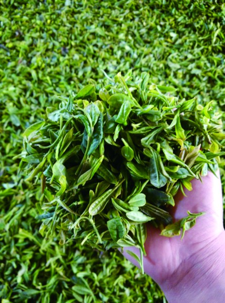 从茶田到茶厂,一片日照绿茶的