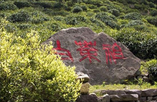 """择一年中的最美时节去浙江安吉拜谒""""白茶祖"""""""