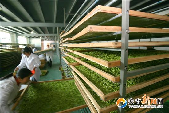 安吉白茶遭遇连续降温天气利于提升茶叶品质