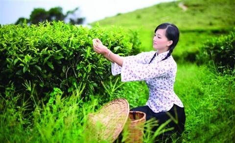 碧螺春首批茶叶将在3月下旬上市