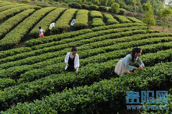 贵州绿茶走向全面品牌化实施产业提升三年计划