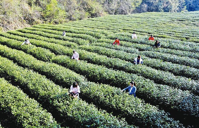 紫阳工商为富硒绿茶品牌增光