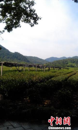 """2500亩龙井茶""""很受伤""""官方增加基础设施铺设"""