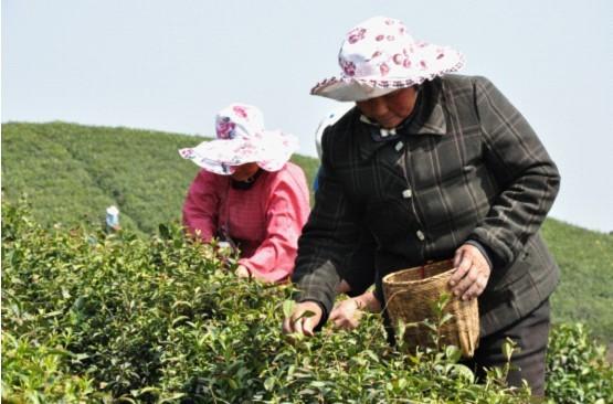 2013年信阳毛尖开采提出赶超安溪打造全国茶都