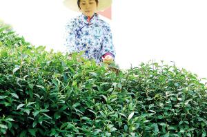 """西湖龙井茶的""""当家品种""""昨天开始大面积开采(图)"""