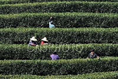 杭州西湖龙井春茶提前迎来采摘旺季