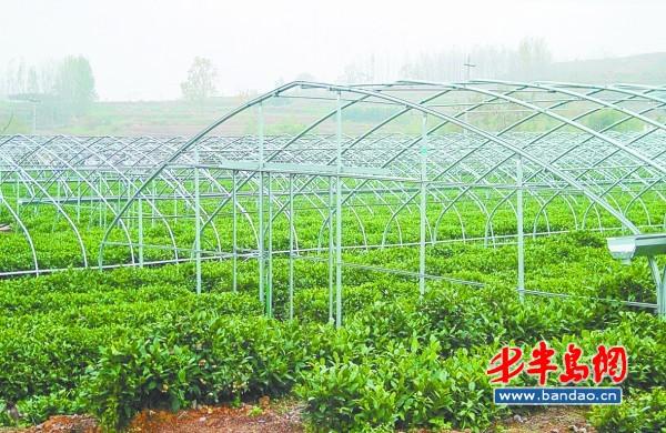 """43个村盛产""""豌豆香""""绿茶"""