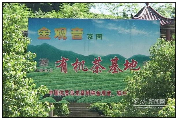 独辟蹊径——绿茶产地泾县爱民村乌龙茶枝繁叶茂