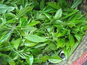 云南普洱生茶