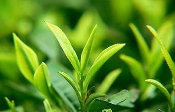 怎样喝普洱生茶
