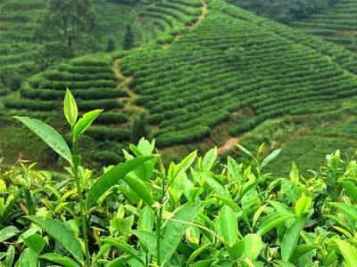 崂山绿茶是什么茶